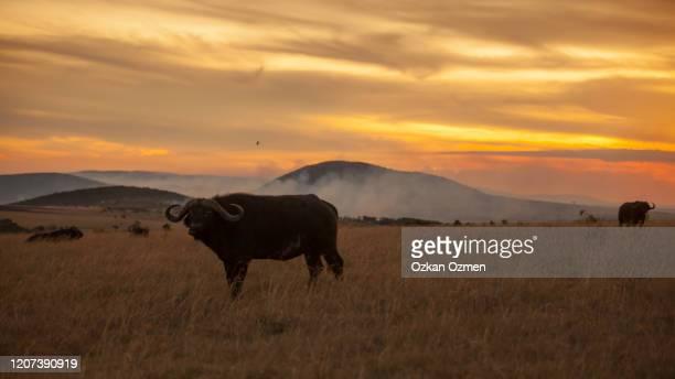 african buffalo portrait in african wilderness - erbivoro foto e immagini stock