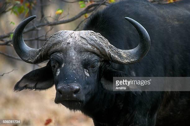 African Buffalo portrait Kruger National Park South Africa