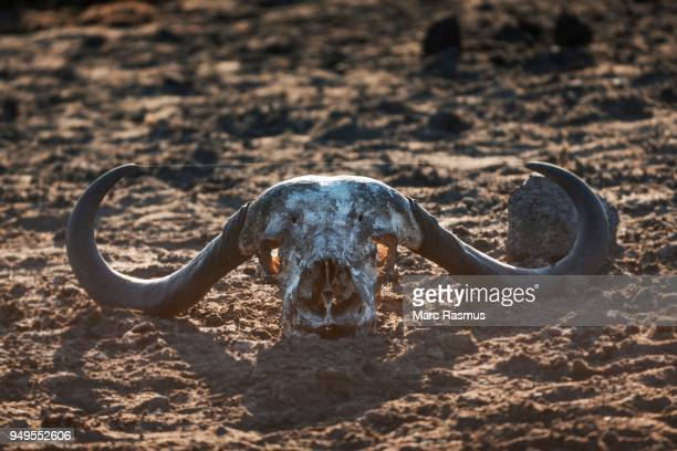 African buffalo (Syncerus caffer) skull bones, Manyeleti Game Reserve, South Africa