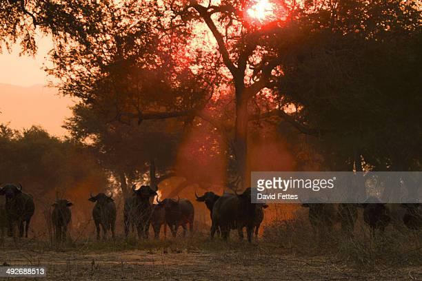 African buffalo - Syncerus caffer - at sunset, Mana Pools National Park, Zimbabwe