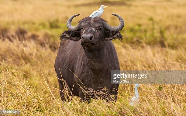 African Buffalo with cattle egrets