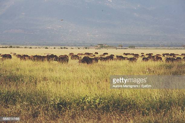 African Buffaloes In Field
