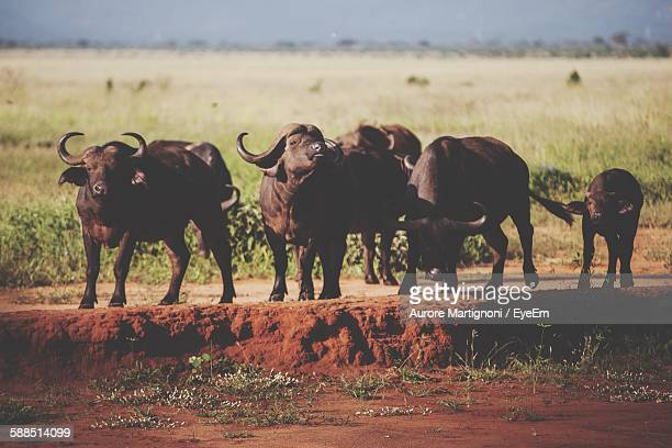 African Buffaloes On Dirt Road Against Field