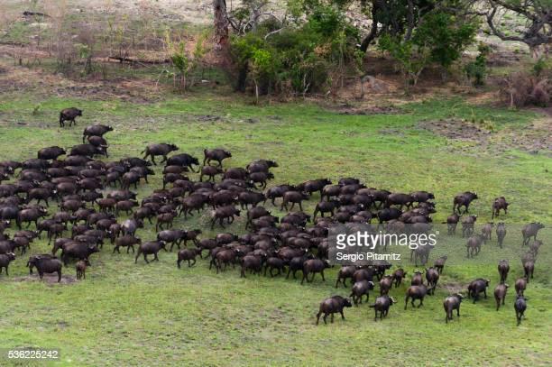 African buffalos (Syncerus caffer), aerial view, Okavango delta, Botswana, Africa