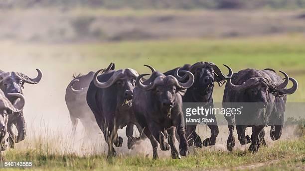 African buffalos running