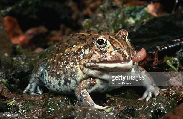 African Bullfrog Eating Worm