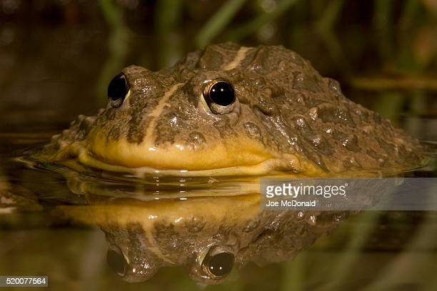 African Bullfrog in Pond