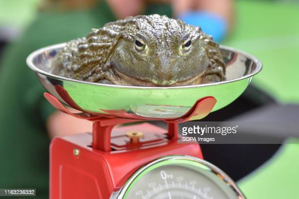 African bullfrog is being weighed during the Annual weighin at ZSL London Zoo in London