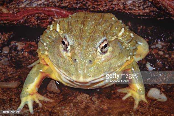 african bullfrog - bullfrog stock pictures, royalty-free photos & images