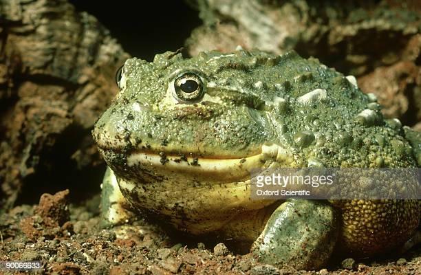 african bullfrog, pyxicephalus adspersus, male