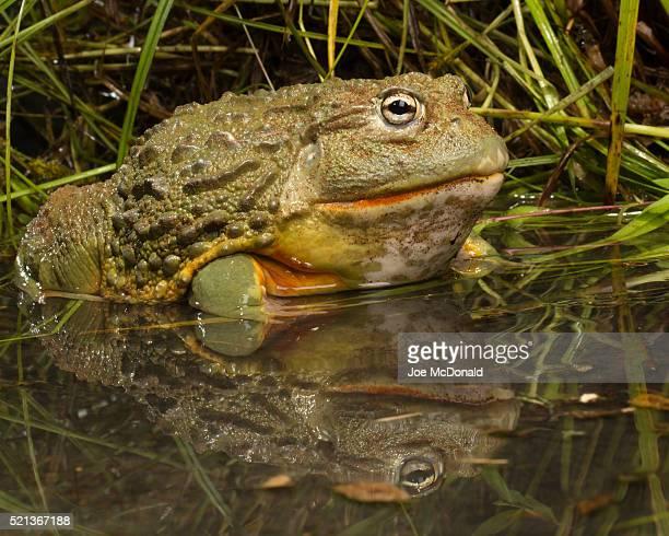 African Burrowing Bullfrog