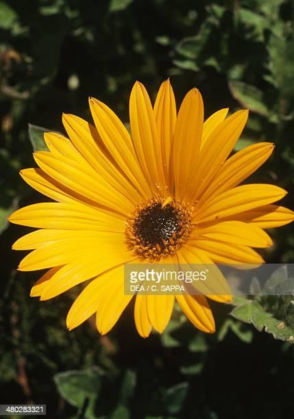 African bush daisy Asteraceae