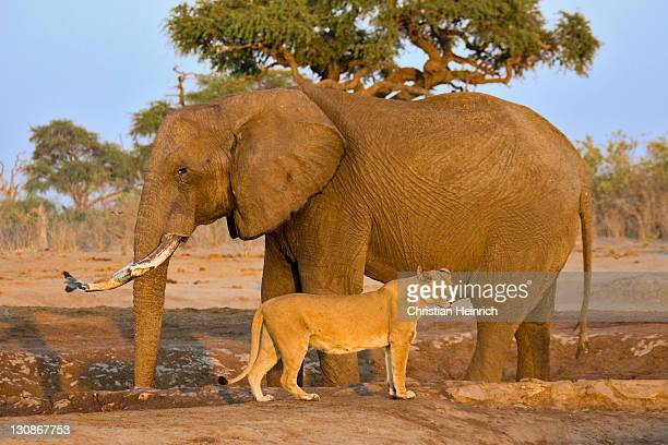 african bush elephant (loxodonta africana) and a lioness (panthera leo) at savuti waterhole, chobe national park, botswana, africa - carnivora stock photos and pictures