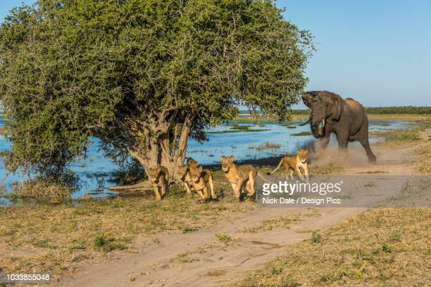 african bush elephant (loxodonta africana) chases six lions (panthera leo) away beside river - lion attack stock pictures, royalty-free photos & images