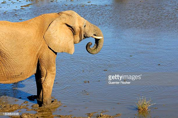 African Bush Elephant (Loxodonta africana) drinking at a waterhole, Madikwe Game Reserve, South Africa, Africa