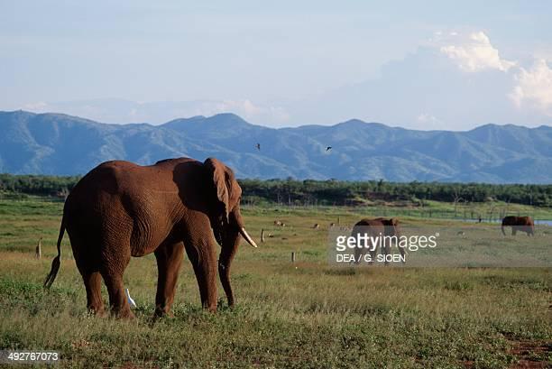 African bush elephant , Elephantidae, Fothergill Island, lake Kariba, Zimbabwe.