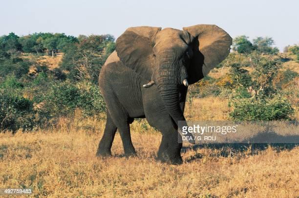 African bush elephant Elephantidae Motswari Private Game Reserve Transvaal South Africa