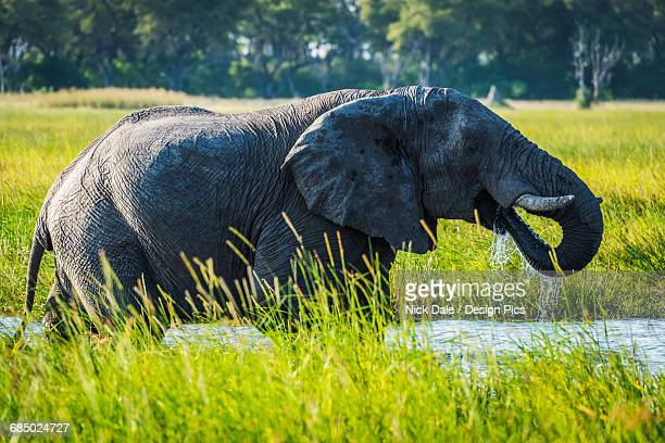 African Bush Elephant (Loxodonta africana) in river with water dripping from trunk in mouth