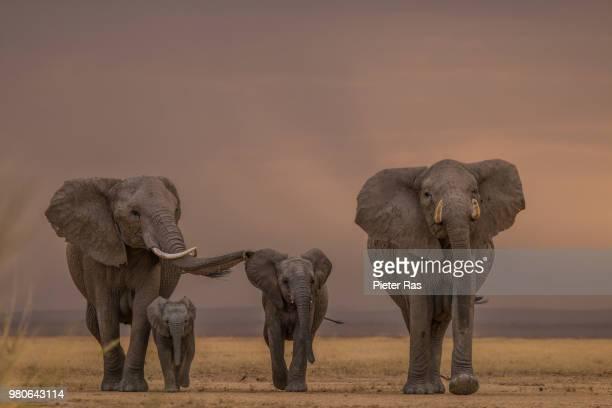 african bush elephant (loxodonta africana) in savannah, kenya - african elephant stock pictures, royalty-free photos & images