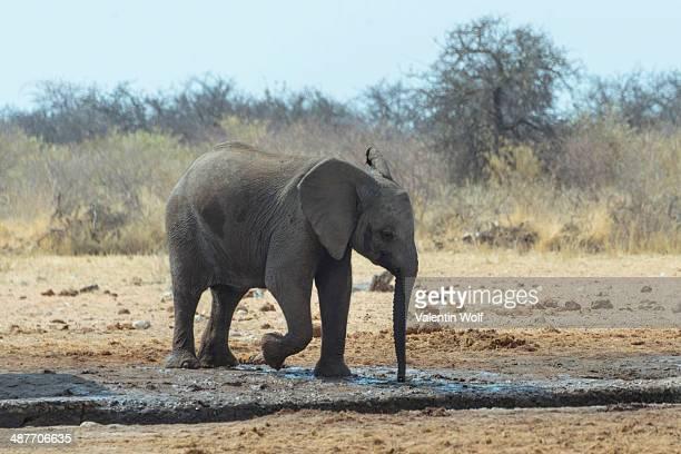 african bush elephant -loxodonta africana- at a waterhole, etosha national park, namibia - waterhole stock pictures, royalty-free photos & images