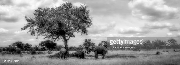 African bush elephant Loxodonta africana at a waterhole under a Leadwood Combretum imberbe tree Limpopo Province South Africa