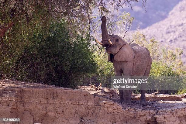 african bush elephant -loxodonta africana- feeding, hoarusib, damaraland, namibia - animal digestive system stock photos and pictures