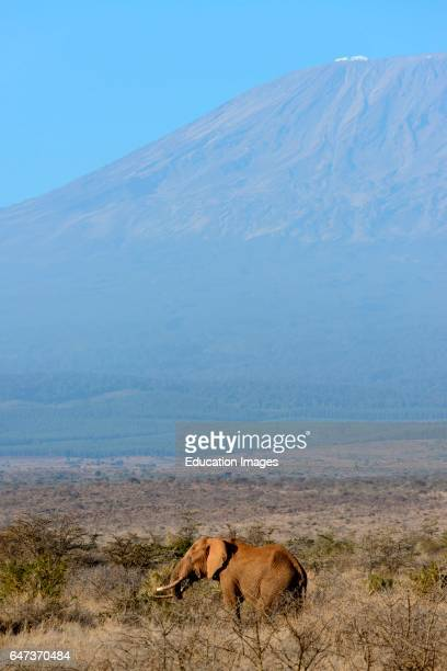 African bush elephant Loxodonta Africana with Mount Kilimanjaro in Tanzania on the left in the background Satao Elerai Conservancy Near Amboseli...