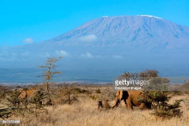 African bush elephant Loxodonta Africana with Mount Kilimanjaro in Tanzania on the left in the background Satao Elerai Conservancy Near Amboseli...