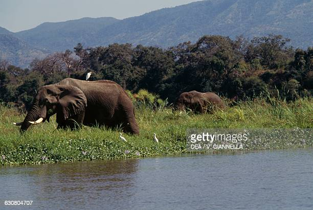 African bush elephant on a small island in the Zambezi river Lower Zambezi national park Zambia