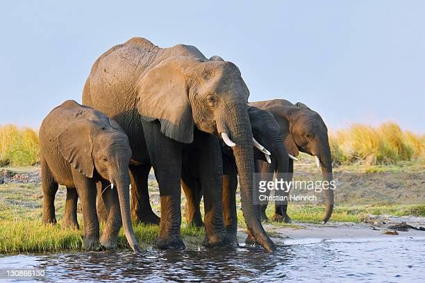 african bush elephants (loxodonta africana) drinking water, chobe river, chobe national park, botswana, africa - waterhole stock pictures, royalty-free photos & images