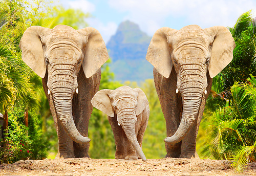 African Bush Elephants - Loxodonta africana family walking on the road in wildlife reserve. Greeting from Africa. 1059152858