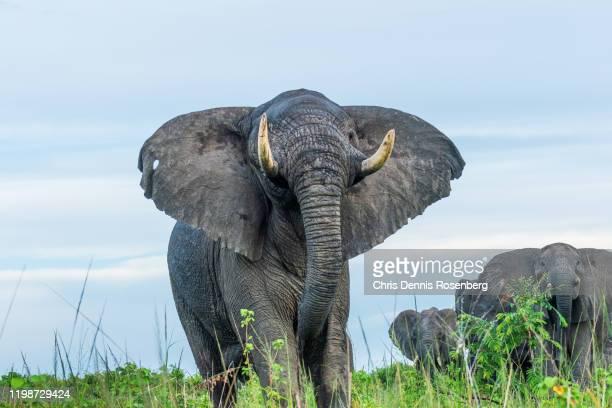 african bush elephants (loxodonta africana). - female animal stock pictures, royalty-free photos & images