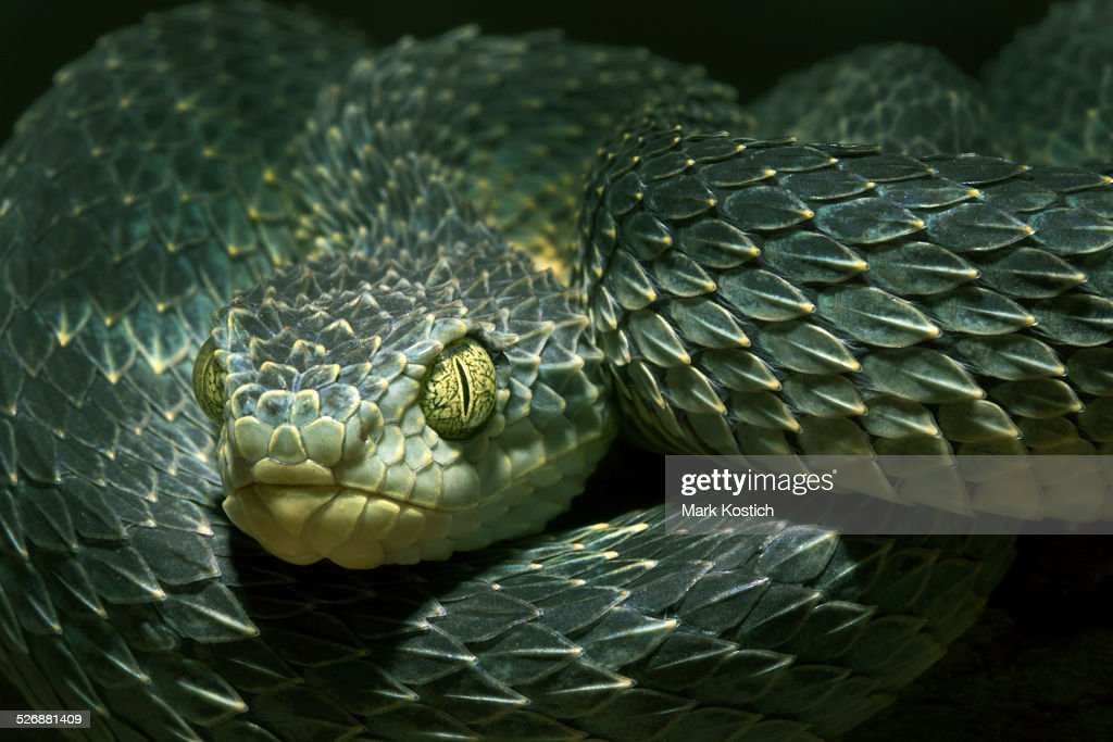 african bush viper venomous snake stock photo getty images