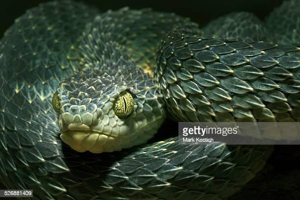 African Bush Viper -Venomous Snake