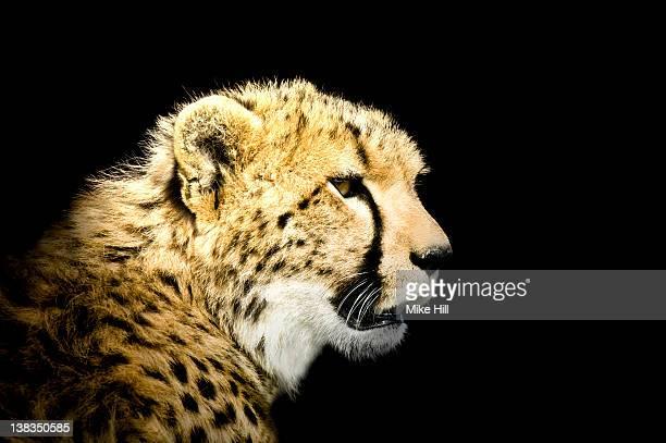 African Cheetah against Black Background ( Acinony
