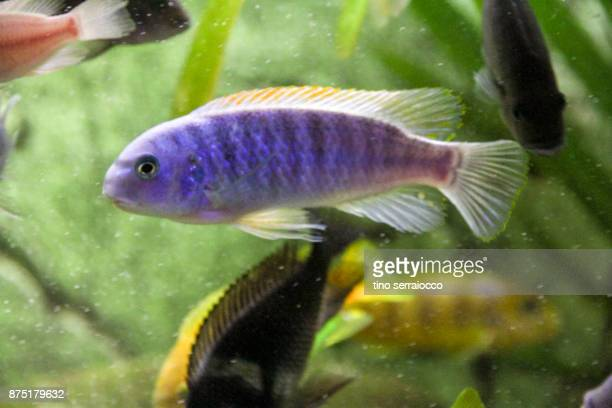 african ciclides fishes in domestic aquarium - fish scale pattern ストックフォトと画像