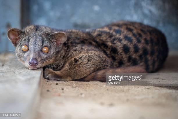 African Civet cat lounges on a small step Ganta Liberia