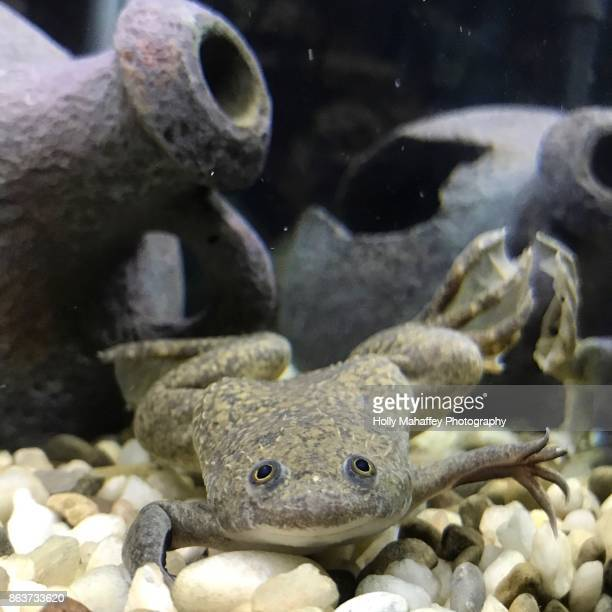 African clawed frog 1
