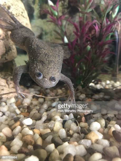 African clawed frog 3