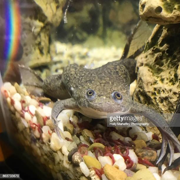 African clawed frog 4