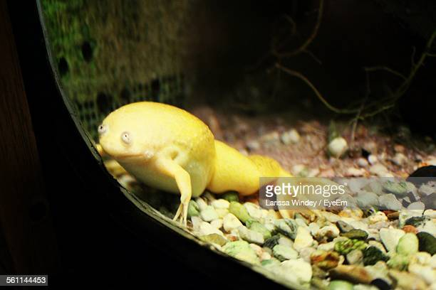 African Clawed Frog In Glass Bowl
