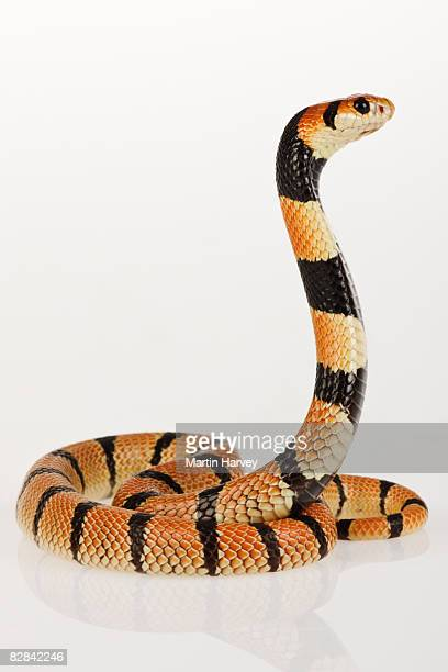 african coral snake against white background. - coral snake stock pictures, royalty-free photos & images