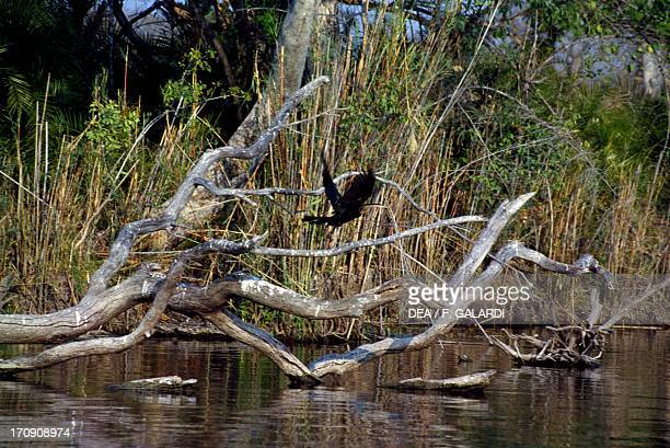 African Darter or Snakebird along a river in the Kafue National Park Zambia