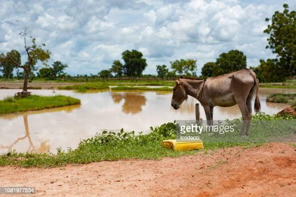 âne africain boire l'eau sale - mali photos et images de collection