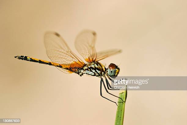 african dragonfly (odonata), namibia, africa - vista lateral stock pictures, royalty-free photos & images