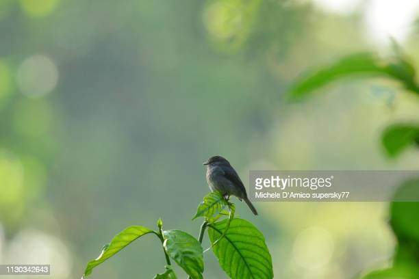 african dusky flycatcher, dusky-brown flycatcher or dusky alseonax (muscicapa adusta) - {{asset.href}} stock pictures, royalty-free photos & images