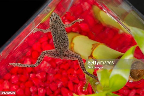 african dwarf frog - gado stock photos and pictures