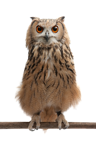 African Eagle Owl 154961675