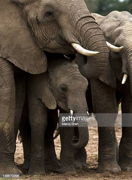 African Elephant adults 'protecting' baby.
