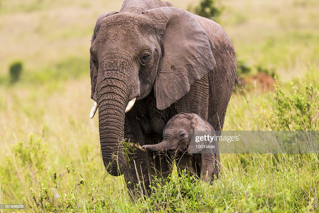 African Elephant and baby: Eating : Stock Photo